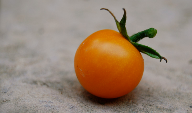 First Sungold Cherry Tomato