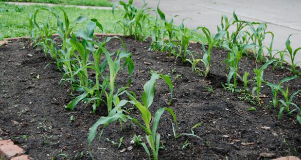 Yard Corn