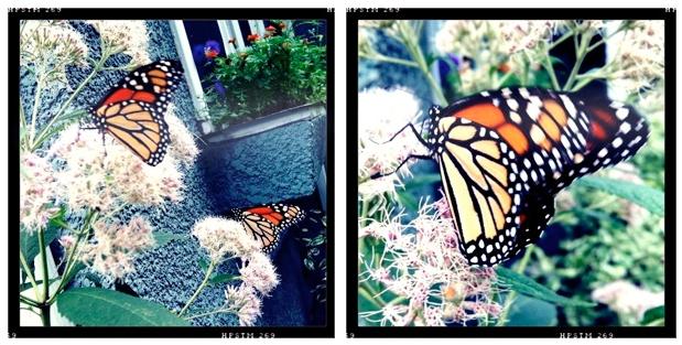 Monarch Butterflies in My Garden
