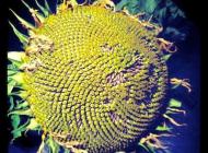 Giant Sunflower Head Full of Seeds