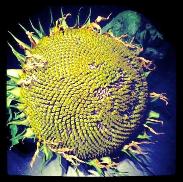 Giant Sunflower Head Full of Seeds